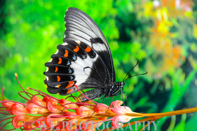 Orchard swallowtail-2
