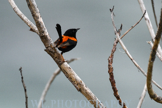 Red-backed fairywren 2